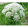 Buy cheap cnidium monnieri fruit powder,cnidium monnieri seed extract,cnidium powder from wholesalers