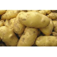 Best 150g Organic Fresh Holland Potato No Pollution , No Insect For Market, large size, good shape, Neat uniform wholesale
