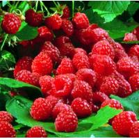 Best Raspberry Ketones,Golden fruit wholesale