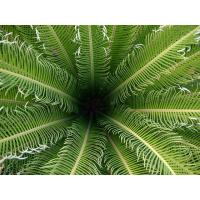 China Popular outdoor landscape ( Cycas revoluta plant trees) on sale