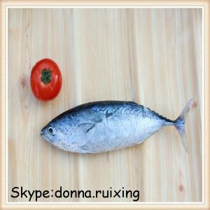 China frozen mackerel tuna,bullet mackerel fish for sale on sale