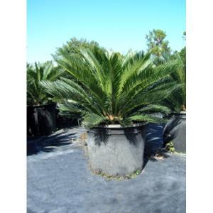 China Cycas Revoluta Bulb The Sago Palm on sale