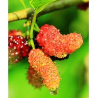 """Quality """"white mulberry extract"""",mulberry extract powder,mulberry p.e,fructus mori extract for sale"""