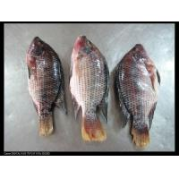 FROZEN SEAFOOD tilapia whole round