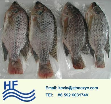 Buy Whole Round Tilapia at wholesale prices