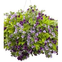 Quality Superbells MISS LILAC for sale