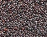 Quality Mustard Seeds (Brassica juncea) for sale