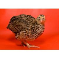 Quality Broiler Quail Grower Feed for sale