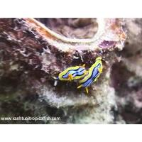 Buy cheap Chromodoris elizabethina from wholesalers