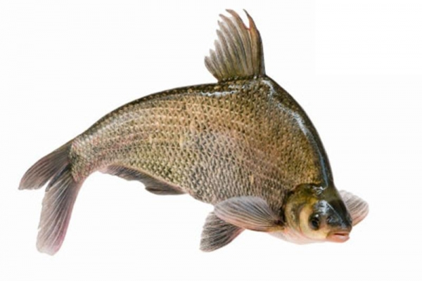 Buy Bream at wholesale prices